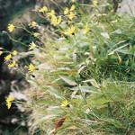 hieracium-cacuminum